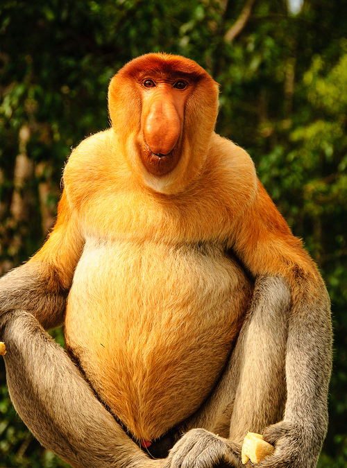 The MOJÖ FUN Proboscis monkey: A walkaround by Kikimalou Tumblr_mmte3e2_W3n1rbwsb5o1_500.jpg_original