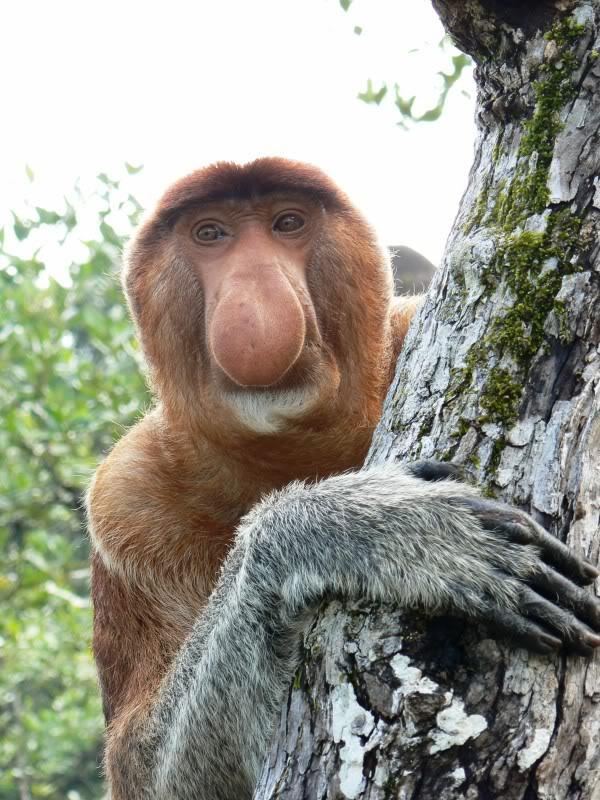 The MOJÖ FUN Proboscis monkey: A walkaround by Kikimalou P1110772.jpg_original