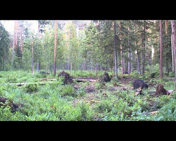 Alataguse Bear Cam 2013 - Page 3 Alutaguse_3_b_16_6_13