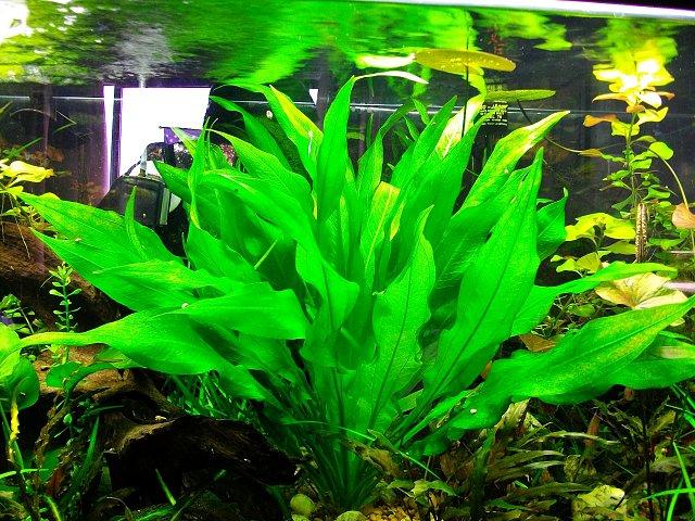 Echinodorus Amazonense Broad_leaf_amazon_sword_broad_echinodorus_bleher