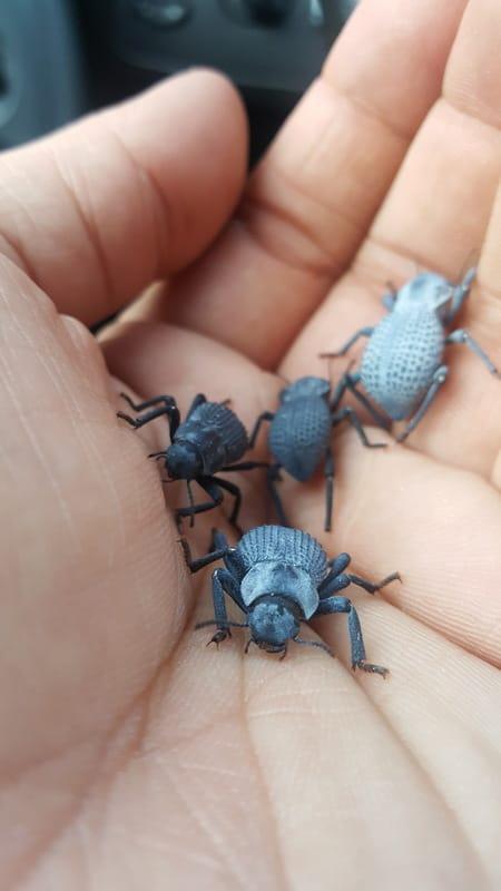 Loops Asbolus verrucosus – Desert Ironclad Beetle 20170114_163611