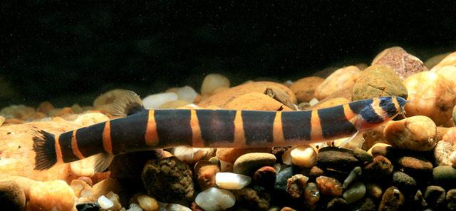 Cobrinha Kuhlli (Acanthophthalmus myersi) Pangio_myersi