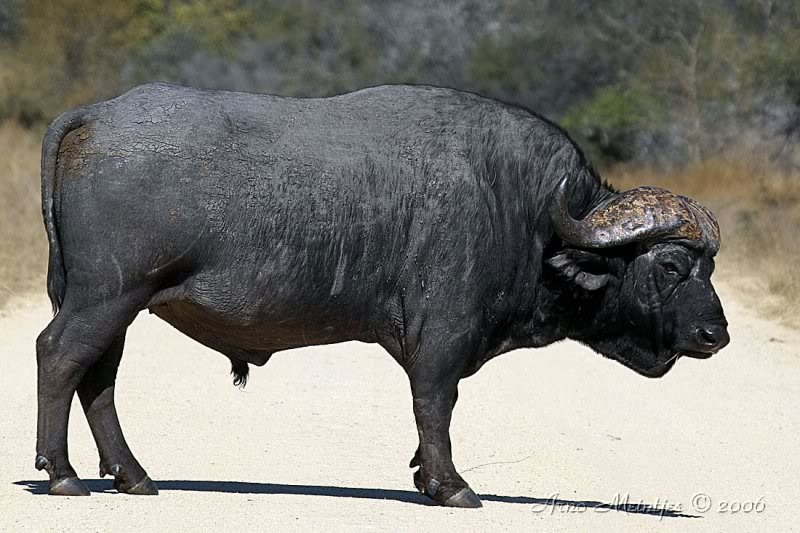 MOJO need your help to choose a Cape buffalo 63471025f1_Ex_F5_EC