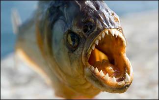 Os predadores Piranha_01