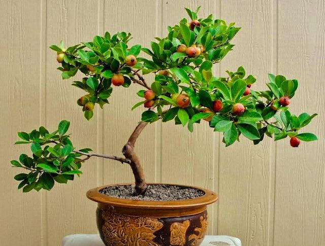 Bonsai How_to_grow_guava_bonsai