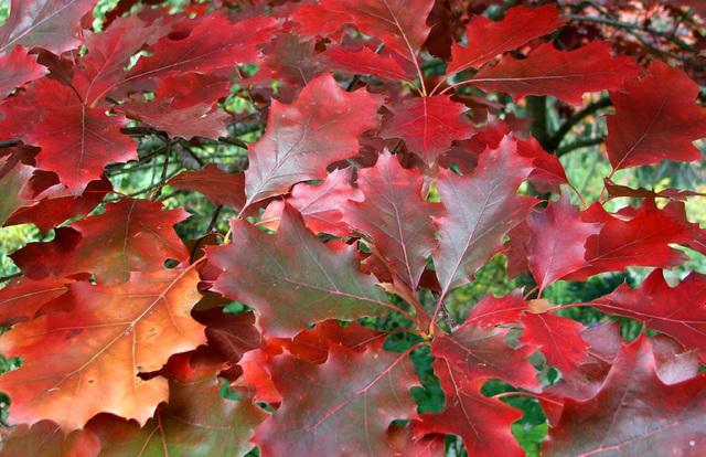 Listovi Red_oak_leaves