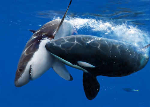 Os predadores Orca_Assassina