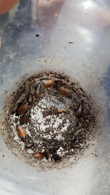 Loops has Surinam Cockroachs - Pycnoscelus surinamensis 20170120_012929