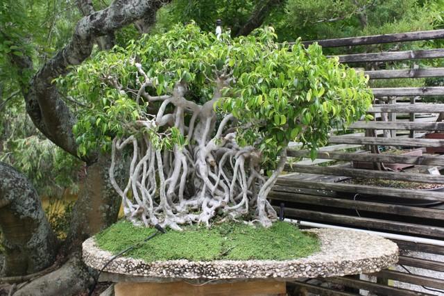 Bonsai - Page 5 Banyan_Bonsai_tree_1024x682