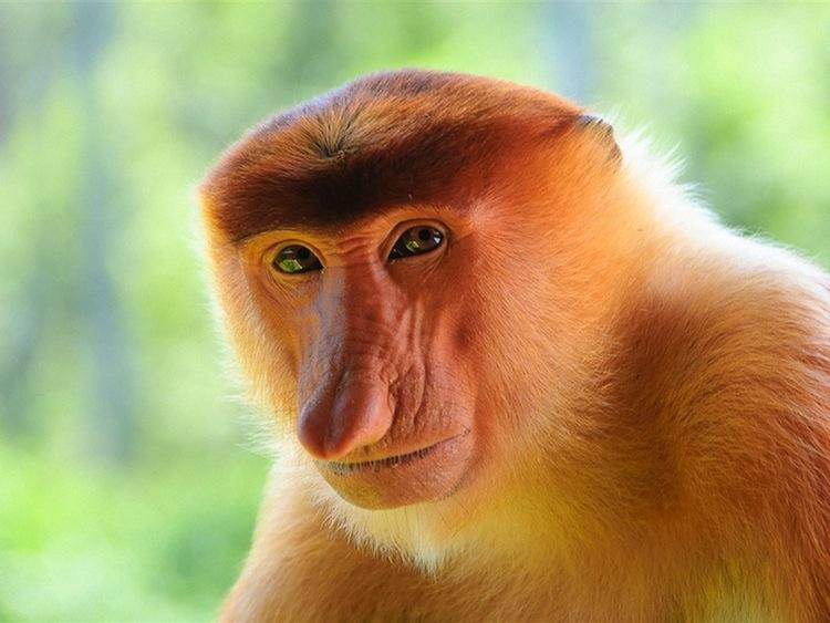 The MOJÖ FUN Proboscis monkey: A walkaround by Kikimalou Proboscis-monkey-close-up_1024x768.jpg_original
