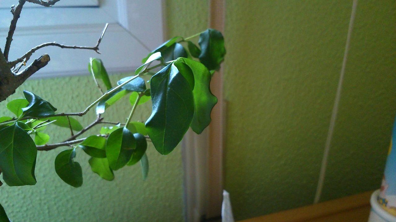 A mi bonsai se le caen las hojas verdes al tocarlas DSC_0165