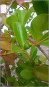 Určení druhu rostliny - Stránka 4 DSC_0173