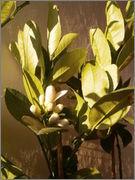 Citrusy všeobecně P4170795