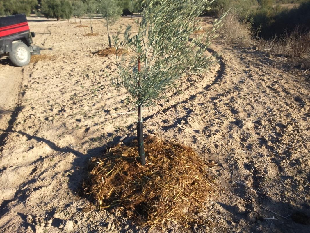 Crecimiento de plantones olivo - Página 10 24fyy4p