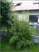 Bambusy - Stránka 2 16_6_2015_1