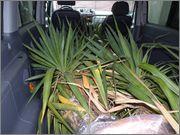 Mrazuodolné juky - rod Yucca - Stránka 6 B_ezen_2013_4