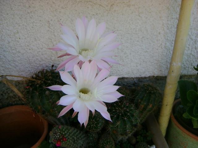 Kaktusi - Page 2 1aaaaaaaa