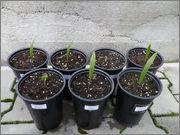 Variety Trachycarpusu fortunei P7010772