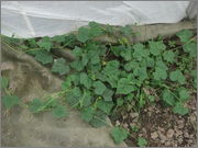 Melothria scabra DSCF4762