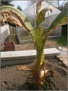 Ensete ventricosum (vč. maurellii) P4040051