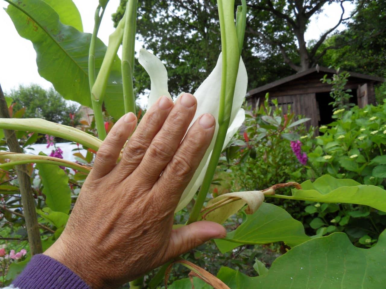 magnolia macrophylla SDC11887