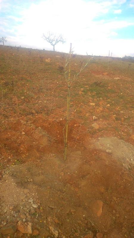 Crecimiento de plantones olivo - Página 9 149scwi