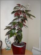 begonia margaritae DSC01225