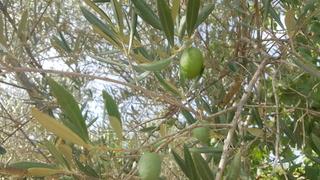 Variedad de olivo (Barcelona) 20170815