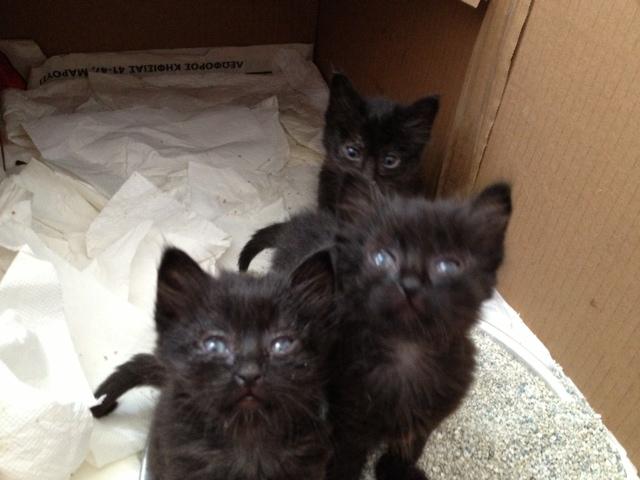 (Υιοθετήθηκαν!) 3 μαύρα γατάκια ζητούν ΑΜΕΣΑ σπιτάκι! Cat_2