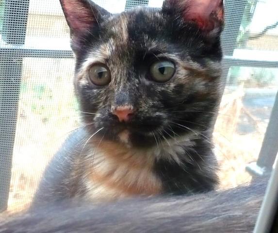CARRIE gatitacarey de 2 meses URGE adopción-Córdoba Carrie