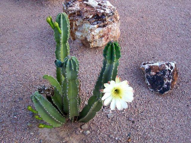 Kaktusi - Page 2 1aaaaaaaaa