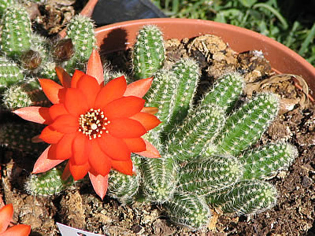 Kaktusi - Page 2 1aaaaaaa