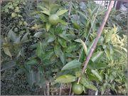 Pomerančovníky - Citrus sinensis - Stránka 3 2014_09_19_10_44_53