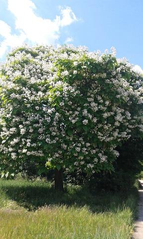 catalpa speciosa Catapla_en_fleurs2
