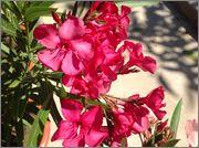 Nerium oleander - Pagina 13 Imsage