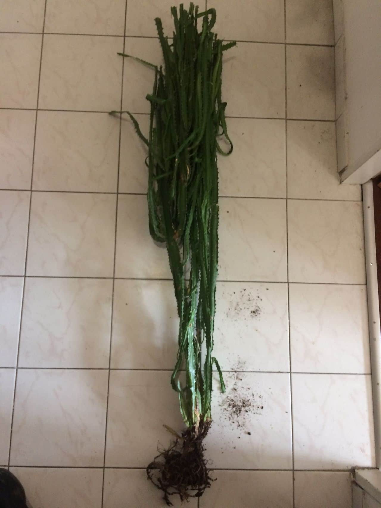 Euphorbia sp. [identification non terminée] IMG_0346