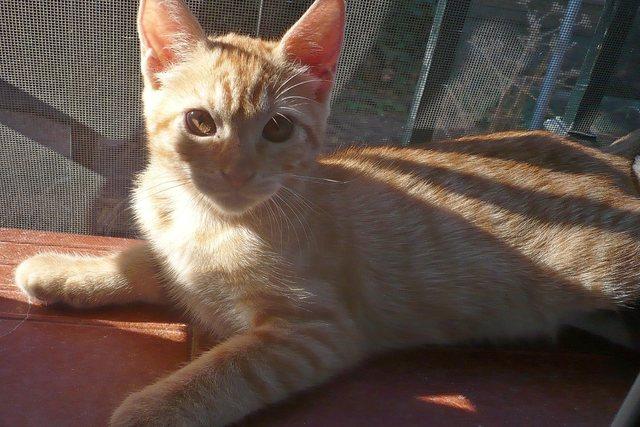 MERMELADA gatita naranja 2 meses URGE adopción-Córdoba 11928710_1153763837983554_5604053792790645431_o
