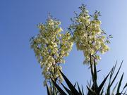 Mrazuodolné juky - rod Yucca - Stránka 11 P1100390