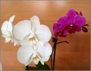 Identificare orhidee - Pagina 2 Image