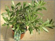 Olea europaea - olivovník evropský P9050456