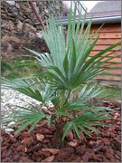 Trachycarpus a jeho hybridy (kříženci) DSCF9630
