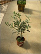 Olea europaea - olivovník evropský P9050457