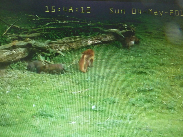 Fox Cam in the Netherlands 2014_05_04_vossen_buiten_15_50_uur_003