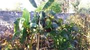 Zimování mrazuodolných banánovníků 20161031_093955