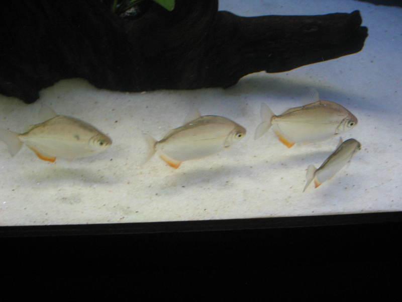 Colaborem: Fotos de Peixes e Plantas Aquáticas - Página 2 IMG_1123