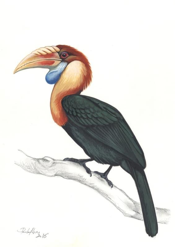 Sumba Hornbill (Rhyticeros everetti) Julang_Sumba