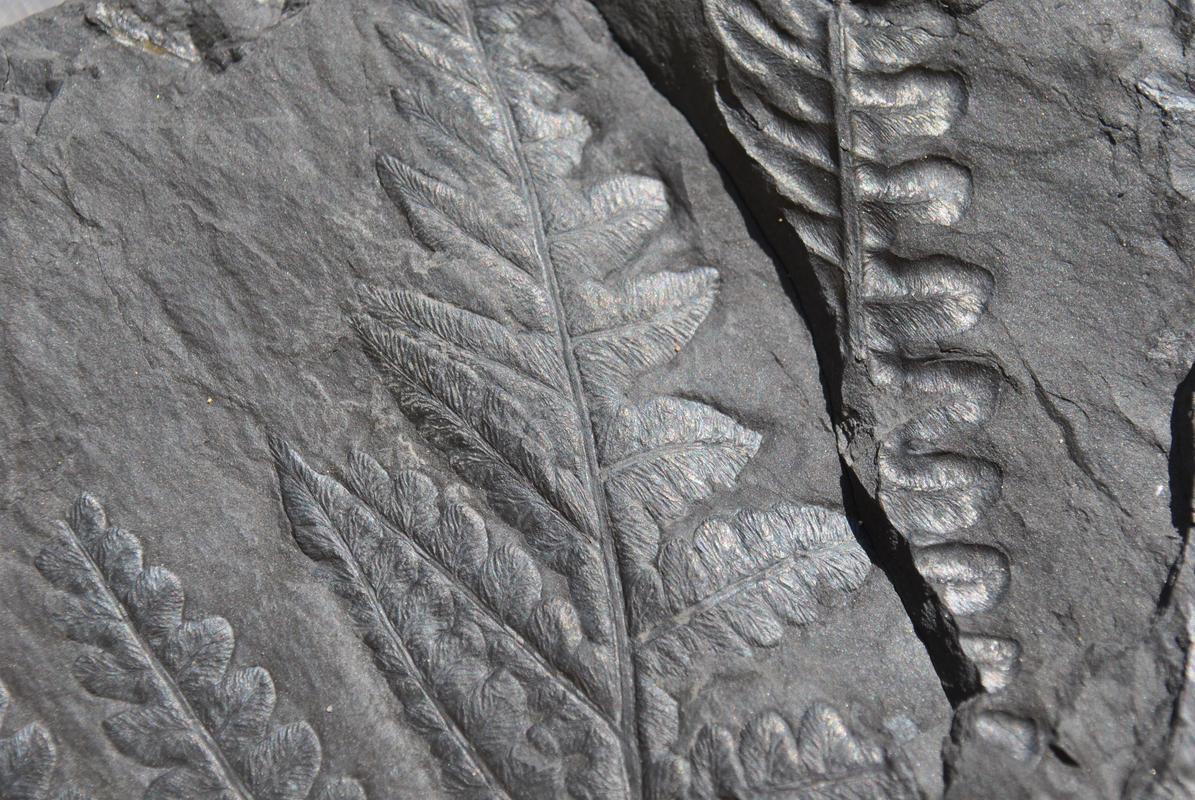Callipteridium   Weiss , 1870 . DSC_9598