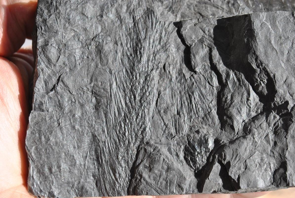 Sigillariostrobus  ou  Lepidostrobus  DSC_5961