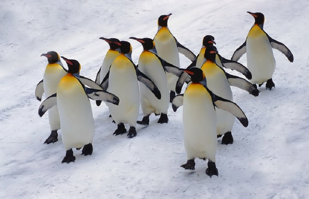 Pingvini - Page 3 8m9yjga07mp