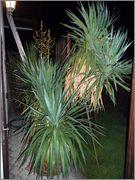 Mrazuodolné juky - rod Yucca - Stránka 6 P1180442_a